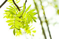 Free Fresh Mountain Ash Leaves In Forest Royalty Free Stock Images - 5330179