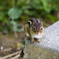 Free Eastern Chipmunk Stock Images - 5331704