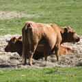 Free Two Cows Stock Image - 5331911