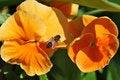 Free Bee Posing On Orange Flowers Stock Photo - 5332200