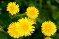 Free Yellow Dandelions. Close-up Stock Photo - 5335580