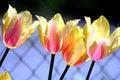 Free Tulip Mix Colors Stock Image - 5339651