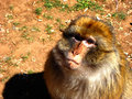 Free Moroccan Monkey Stock Photography - 5339702
