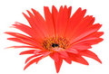 Free Red And Yellow Gerbera Sharp Leaf Edges Macro Stock Image - 5339981
