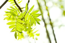 Fresh Mountain Ash Leaves In Forest Royalty Free Stock Images