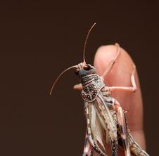 Free Grasshopper Royalty Free Stock Images - 5330659