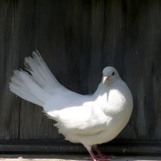 Free White Pigeon, Female Stock Images - 5331194