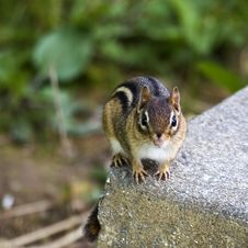 Eastern Chipmunk Stock Images