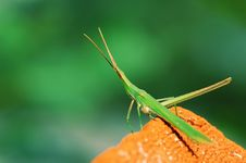 Free Green Grasshopper Royalty Free Stock Photography - 5331707