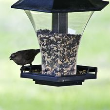 Free Female Cowbird Stock Images - 5331764