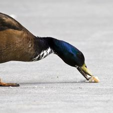 Duck Eating Bread Royalty Free Stock Photo