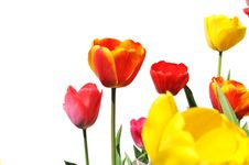 Free Tulips Of Various Colors Isolated On White Stock Images - 5331954