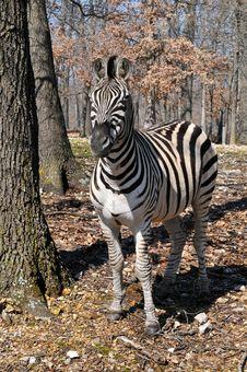 Zebra At The Park Stock Photo