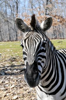 Free Portrait Of African Zebra Stock Image - 5332011