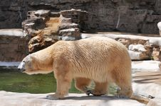Polar Bear Walking At The Zoo Stock Photos