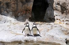 Two Penguins Standing Royalty Free Stock Image