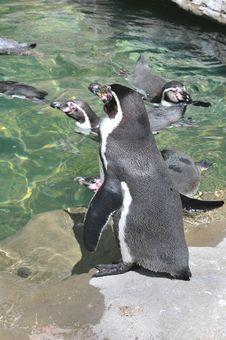 Free Penguins Swimming Royalty Free Stock Photos - 5332188