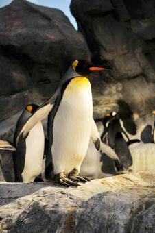 Free King Penguins Aptenodytes Patagonicus Stock Image - 5332191