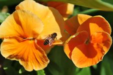 Free Bee Posing On Orange Flowers Stock Photo - 5332200