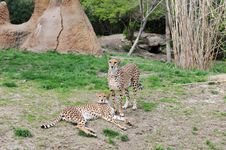 Free Two Cheetahs Lying On The Grass Royalty Free Stock Images - 5332209