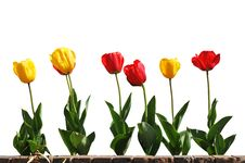 Free Yellow And Red Tulips In Line Royalty Free Stock Photography - 5332317
