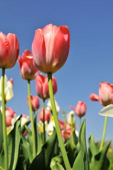Free Tulips Of Various Colors Stock Image - 5332551