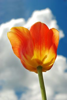 Free Vibrant Orange Tulip Against Blue Sky Royalty Free Stock Photography - 5332617