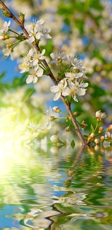 Free Blossoming Cherry Stock Images - 5333584