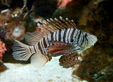Free Lion Fish 5 Royalty Free Stock Images - 5333999