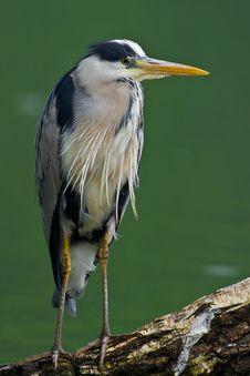 Free Grey Heron Stock Image - 5334031