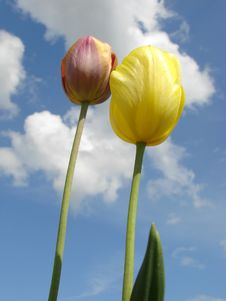 Free Two Tulips Royalty Free Stock Photos - 5334128