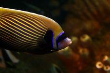 Free Porgy  Fish Stock Photography - 5334692