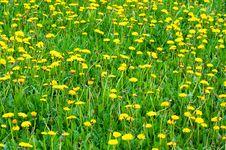 Free Нellow Dandelions Stock Images - 5335574