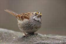 Free White-throated Sparrow (zonotrichia Aibicolis) Royalty Free Stock Images - 5335619