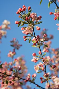 Free Apple Tree Blossoms Branch Stock Photos - 5335663