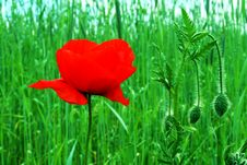 Free Poppy In Garden Stock Images - 5335664