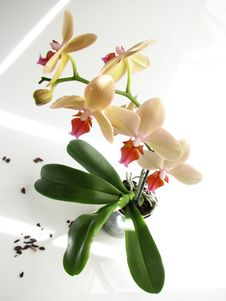 Free Orchid Stock Photo - 5335970