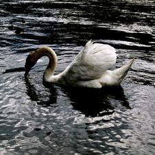Free Swan Portrait... Stock Photo - 5336270