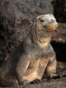 Free Marine Iguana Royalty Free Stock Photography - 5336437