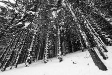 Free Snowy Conifer Trees Royalty Free Stock Photos - 5336638