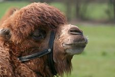 Free Camel Profile Royalty Free Stock Photos - 5336718
