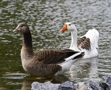 Free Pretty Geese Royalty Free Stock Image - 5337266