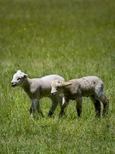 Free Baby Sheep Stock Photos - 5337293