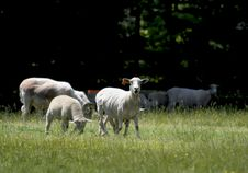 Free Sheep In Field Stock Photo - 5337300