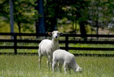 Free Sheep In Field Royalty Free Stock Photography - 5337307