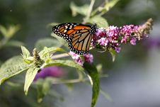 Free Monarch Royalty Free Stock Photography - 5337627