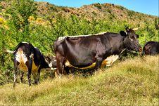 African Bull Calf Sucks Milk Royalty Free Stock Photo