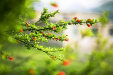 Free Megranate  Branch & Flowers Royalty Free Stock Image - 5338416
