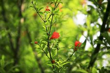 Free Red Megranate Flowers Royalty Free Stock Photos - 5338478