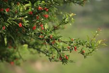 Free Megranate Flower Branch Stock Image - 5338571